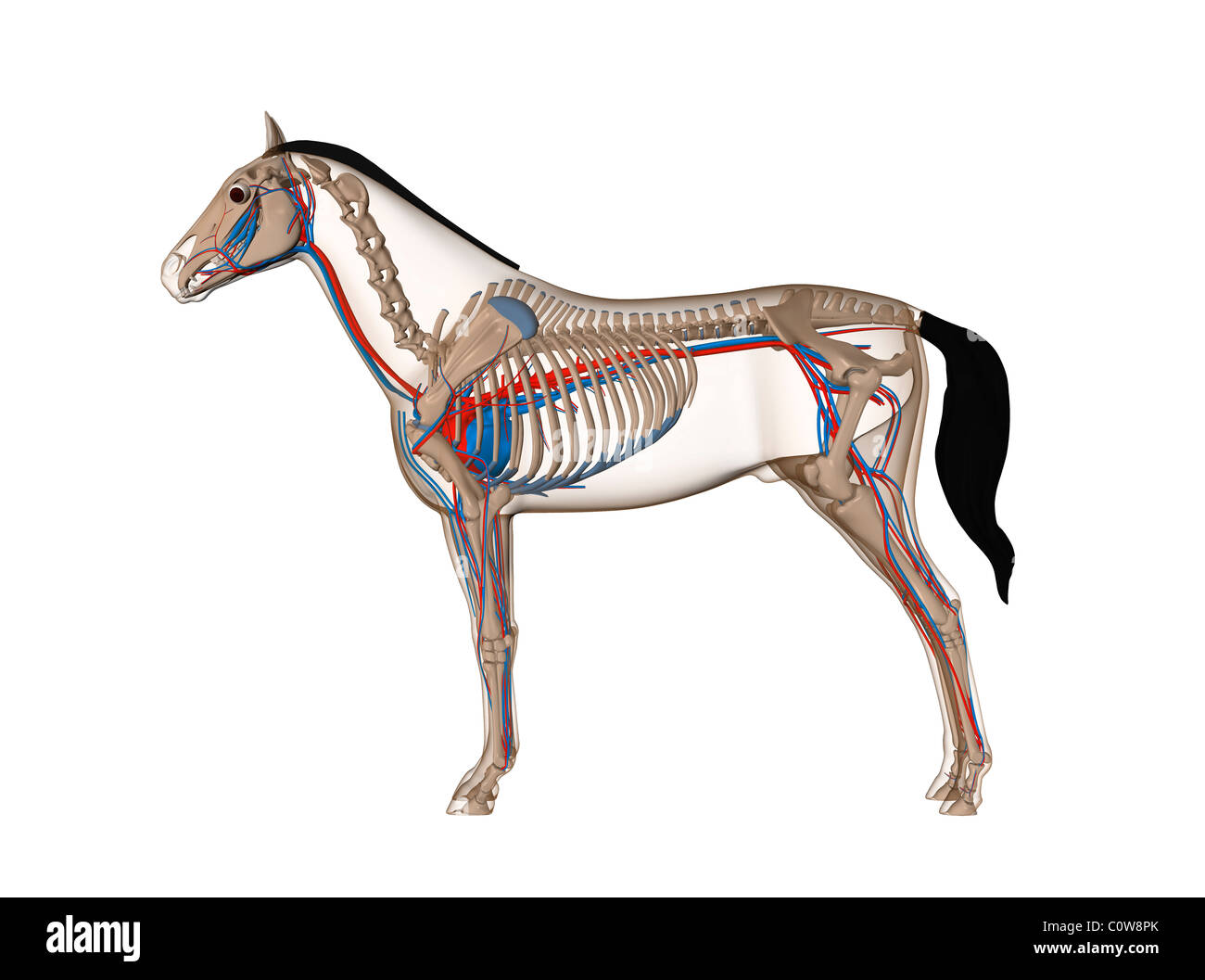 horse anatomy heart circulation Stock Photo: 34976443 - Alamy