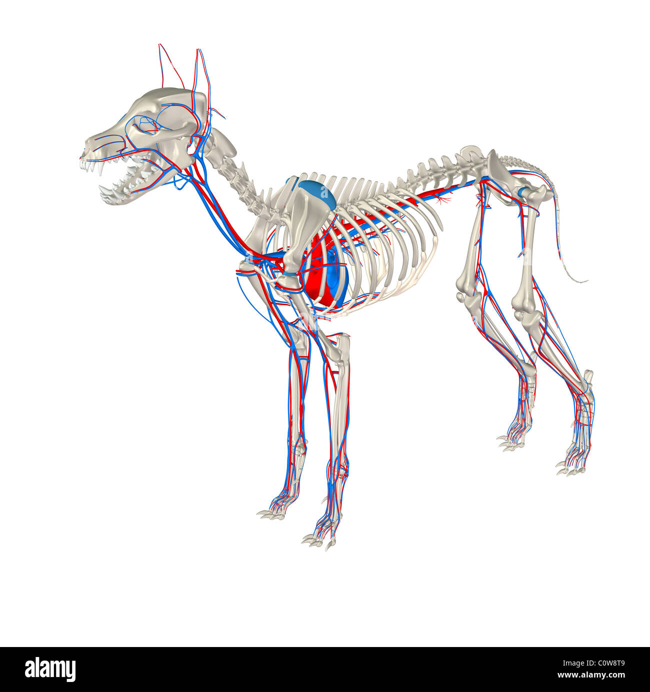 Dog Anatomy Heart Circulation Stock Photos & Dog Anatomy Heart ...