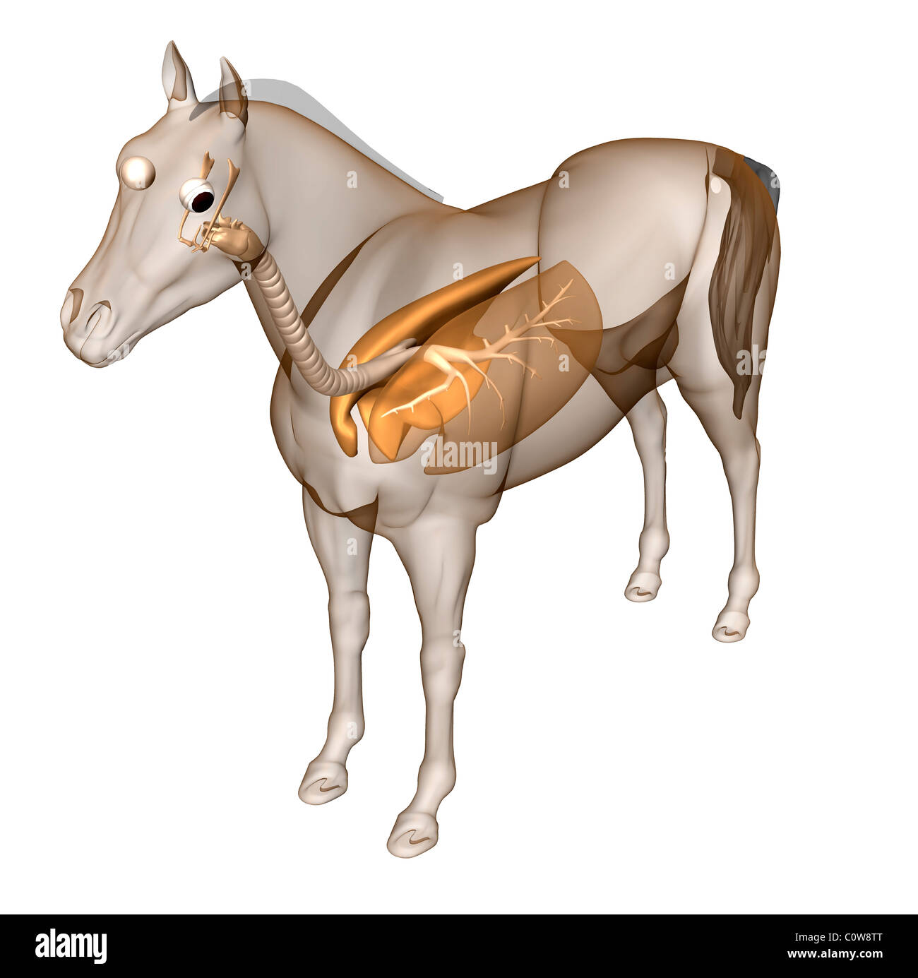 horse anatomy respiratory lungs - Stock Image