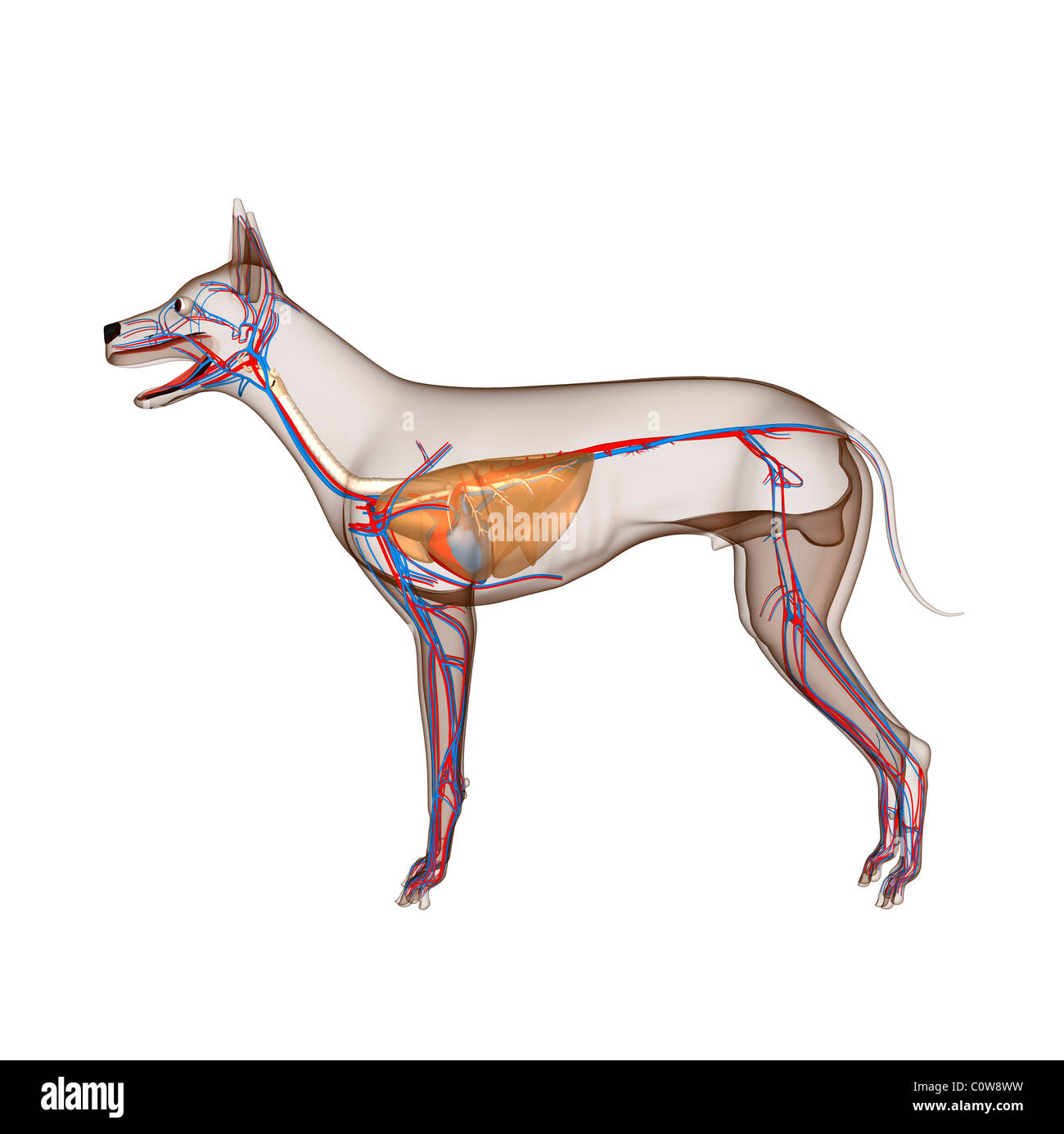 dog anatomy heart circulation respiratory with transparent body and ...