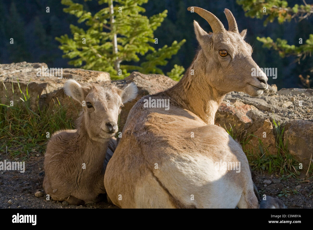 Female Big Horn Sheep (Ovis canadensis) and offspring - Stock Image