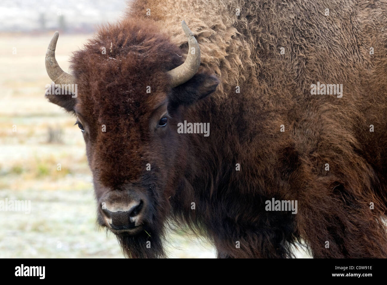American Bison, Yellowstone National Park - Stock Image