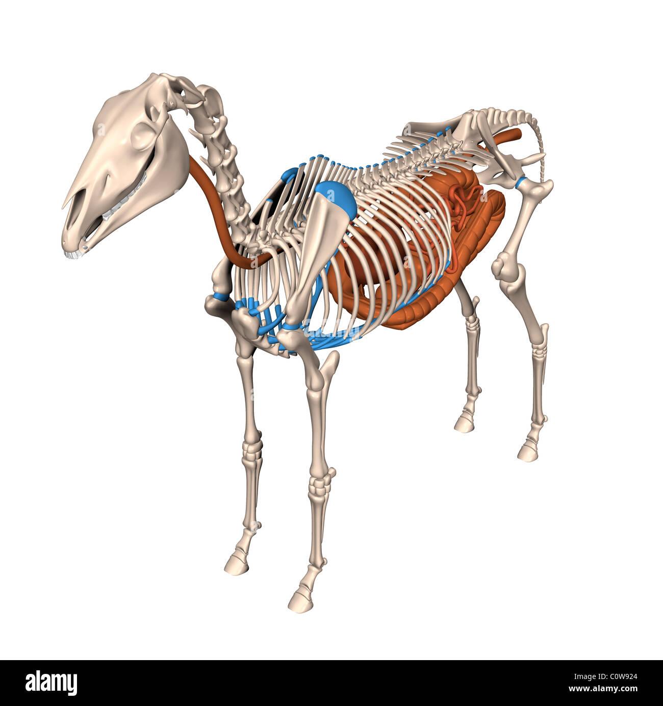 horse anatomy digestion stomach skeleton Stock Photo: 34976652 - Alamy