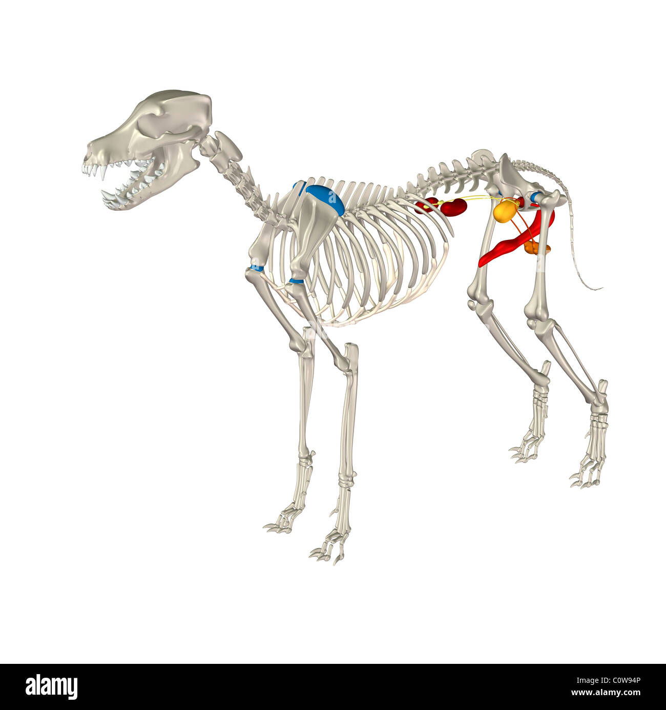 Dog Anatomy Urinary Penis Bladder Kidney Stock Photo 34976726 Alamy