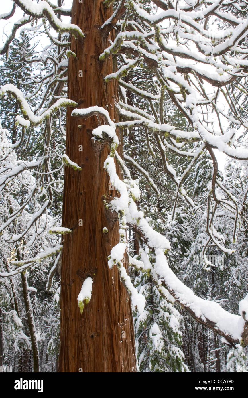 Giant Sequoia Tree (Sequoiadendron giganteum) during winter, Yosemite National Park. - Stock Image