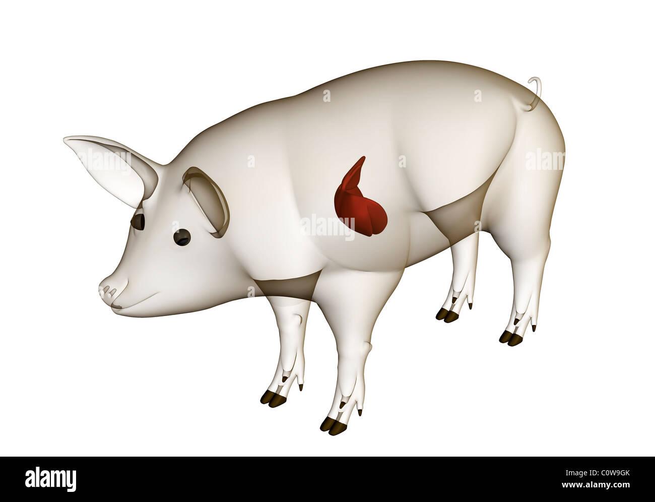 pig anatomy liver with transparent body Stock Photo: 34977059 - Alamy