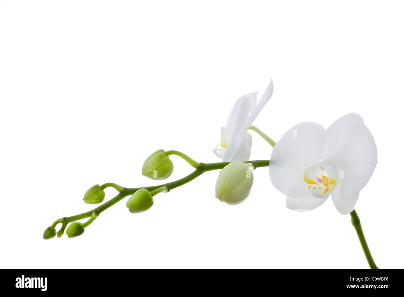 white phalaenopsis orchids against white background - Stock Image