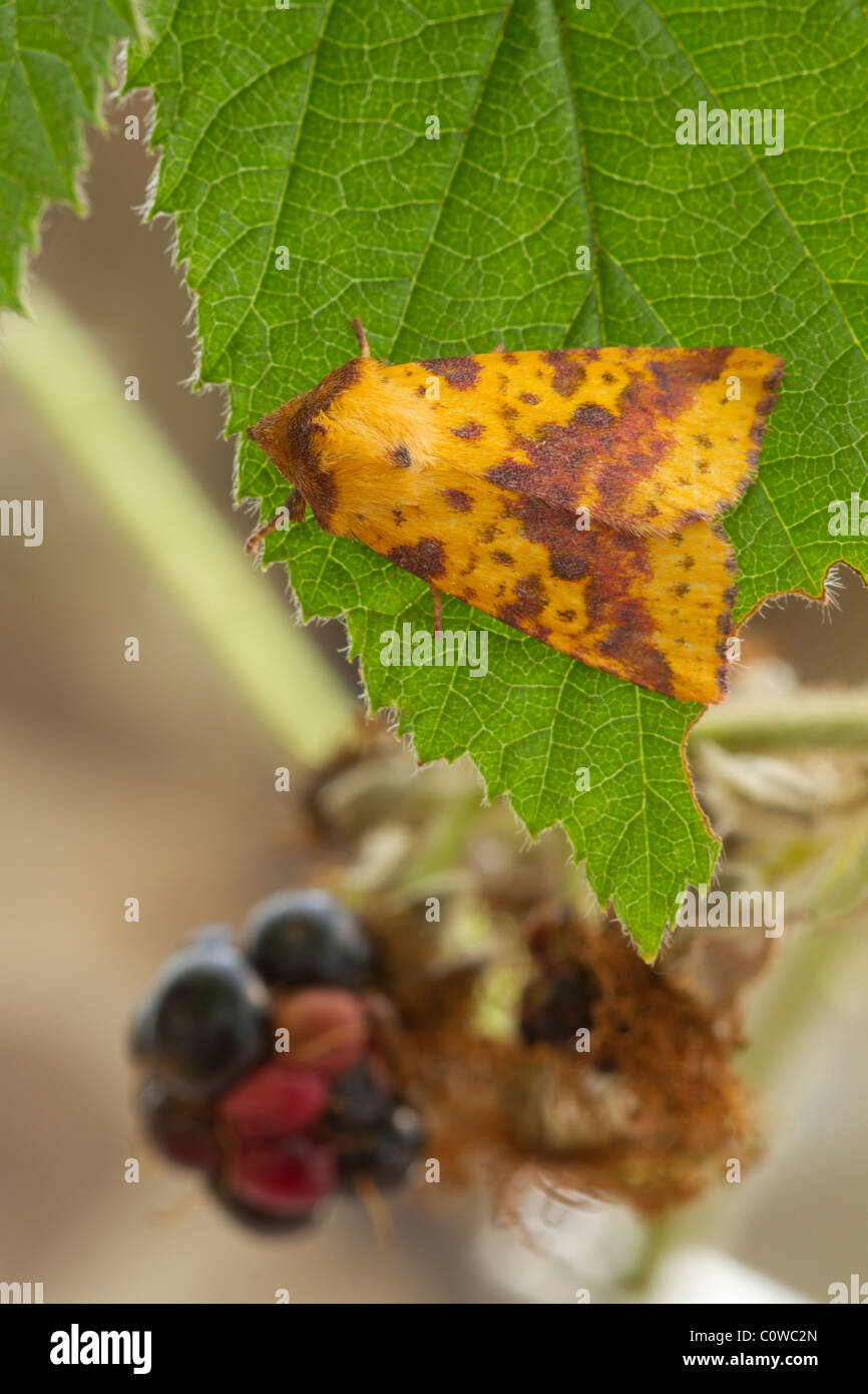 Pink-barred Sallow (Xanthia togata) - Stock Image