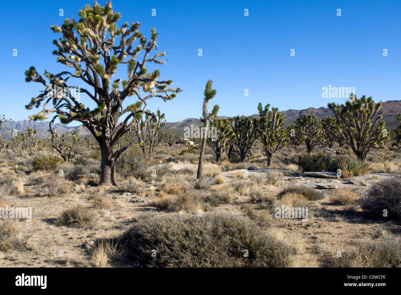 Joshua tree (Yucca brevifolia) forest in the Mojave Desert, California. - Stock Image