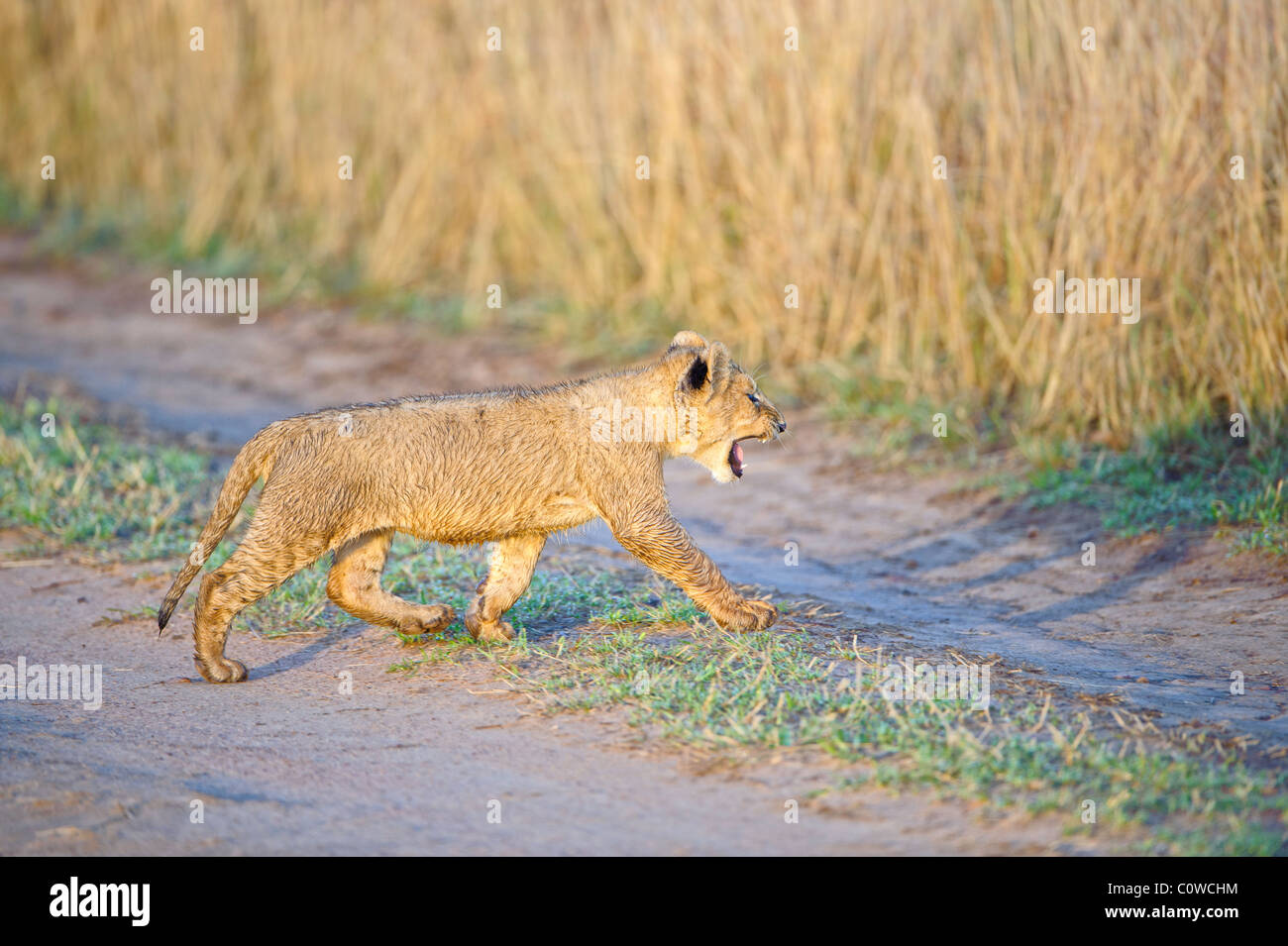 A young lion cub growls as he crosses a dirt track in the Masai Mara in Kenya. - Stock Image