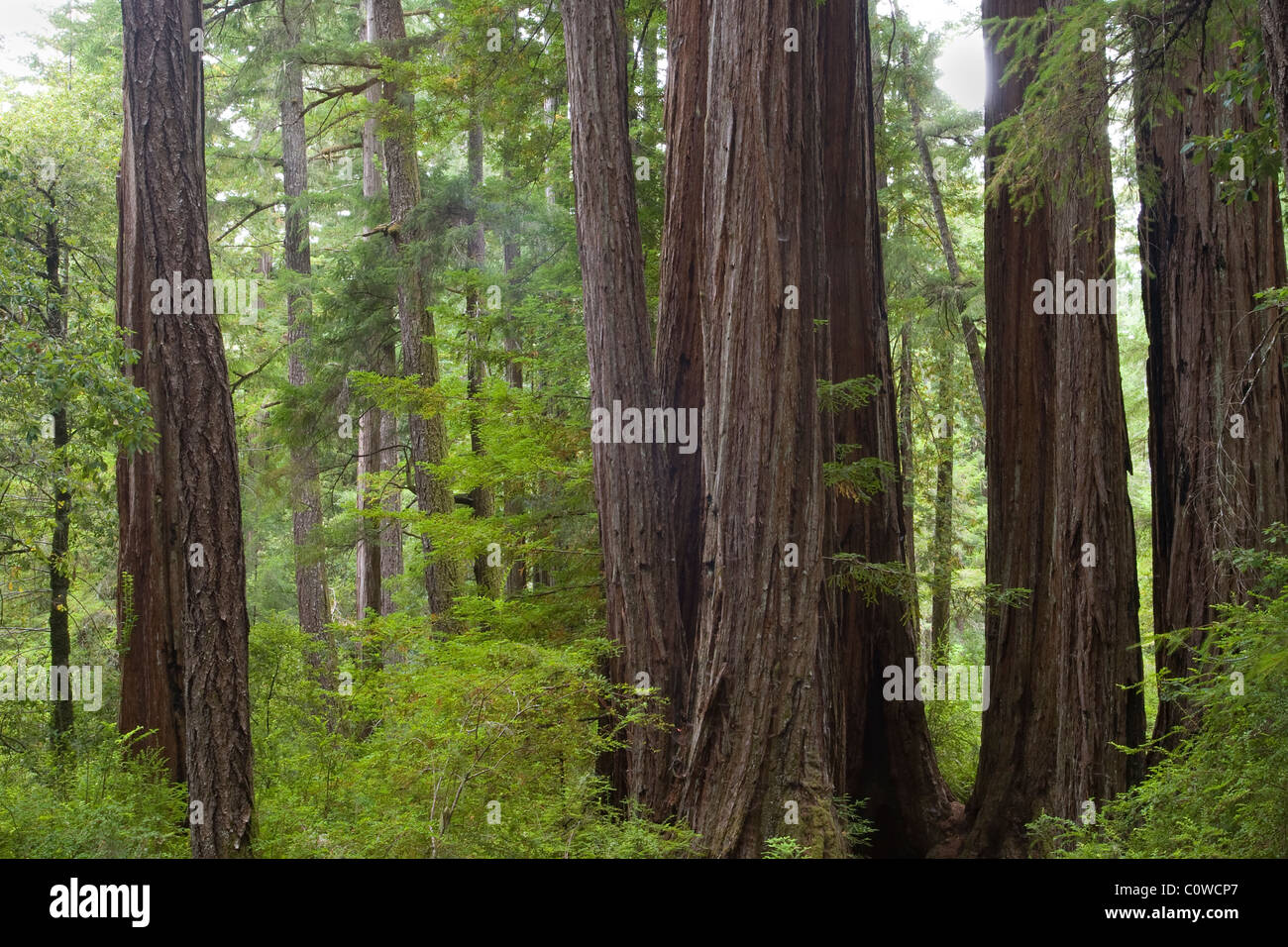 A trail leads into the RedWoods, Big Basin State Park - Stock Image