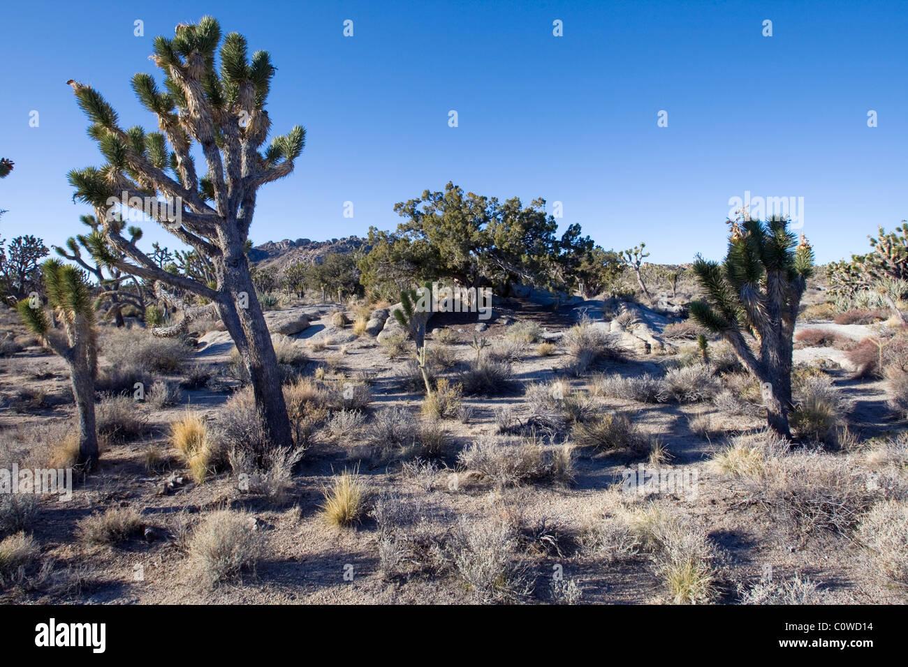 Joshua tree (Yucca brevifolia) in the Mojave Desert, California. - Stock Image