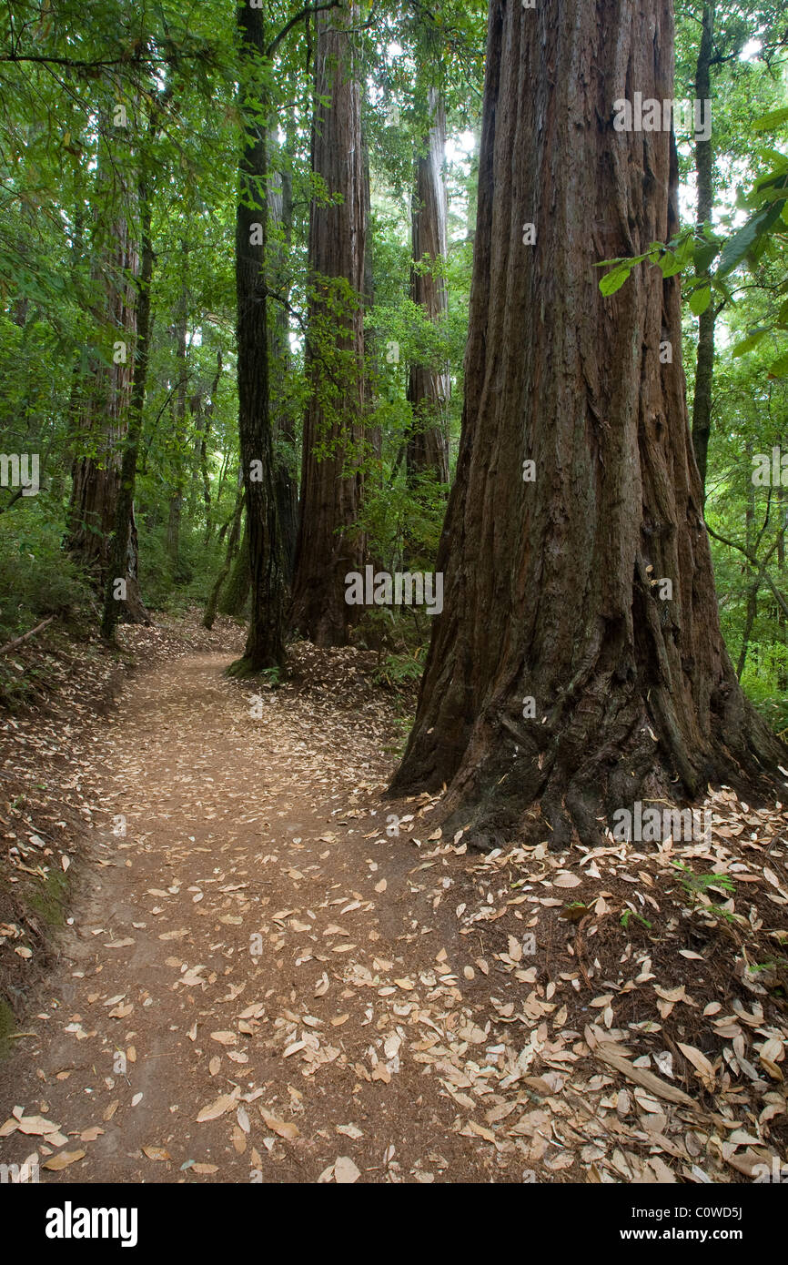 Path Leading through Redwoods, Big Basin State Park, CA. Stock Photo