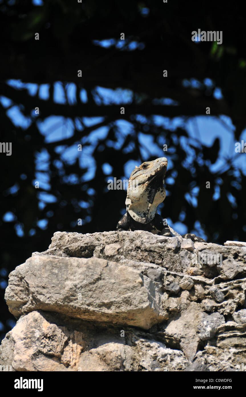 Iguana amid the Mayan ruins at Playa Del Carmen, Mexico - Stock Image