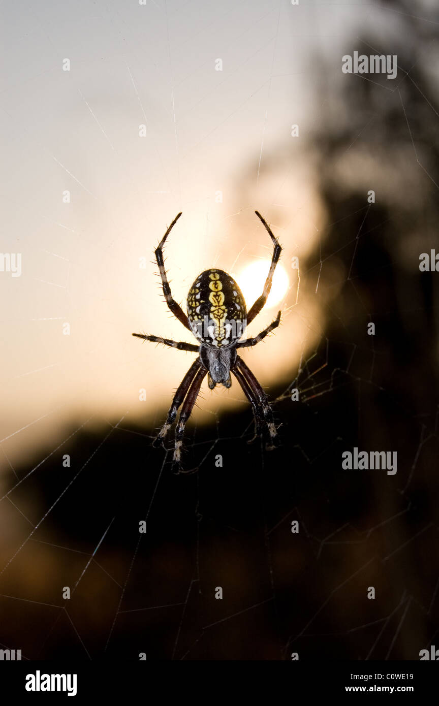 Western spotted orbweaver (Neoscona oaxacensis) during sunrise in Mexico - Stock Image