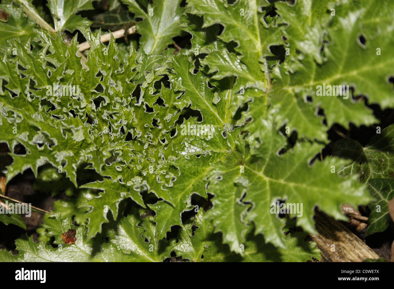close up of green carduus thistle leaves - Stock Image