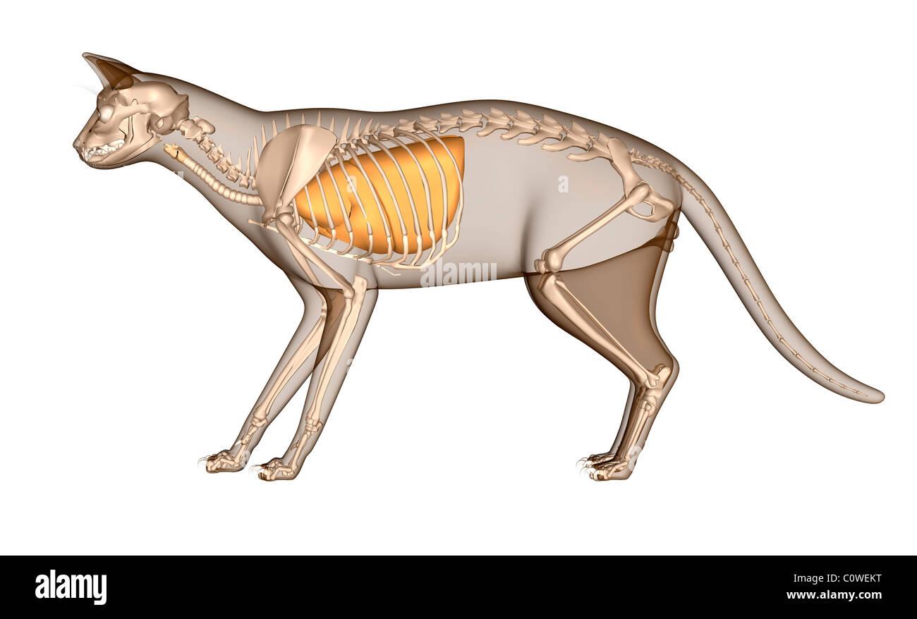 Anatomy of the cat respiratory lungs skeleton Stock Photo: 34981068 ...