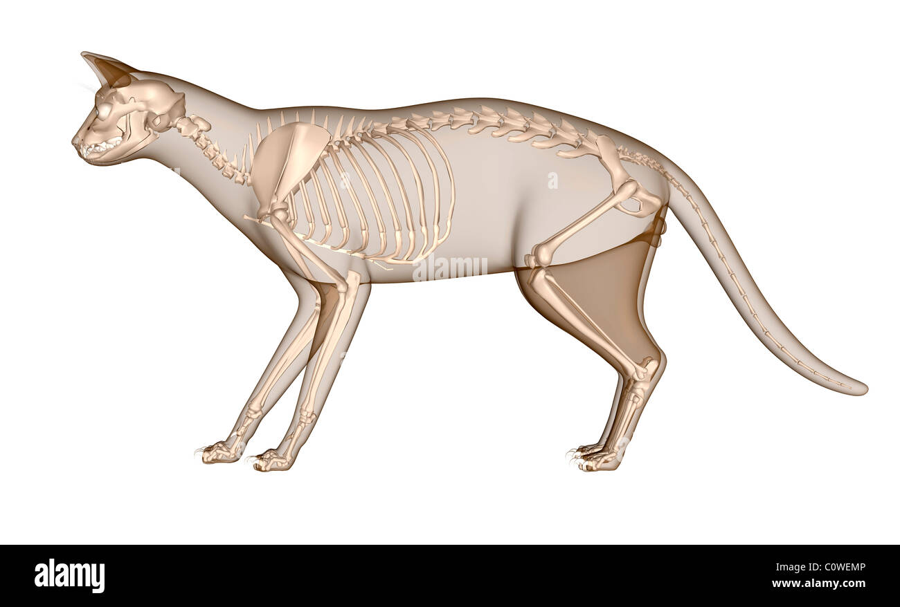 Anatomy Of The Cat Skeleton Stock Photo 34981094 Alamy