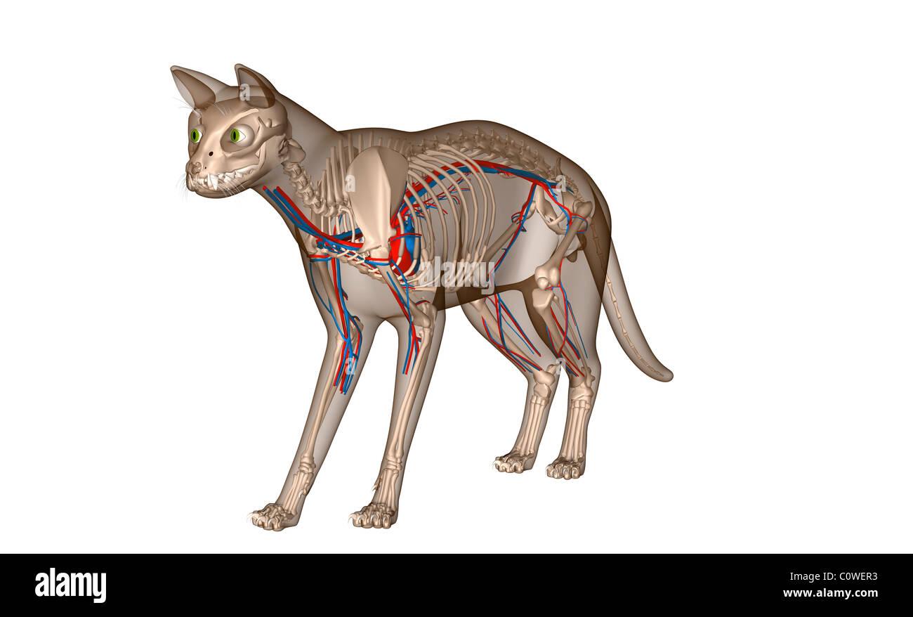 Anatomy of the cat heart circulation skeleton Stock Photo: 34981159 ...