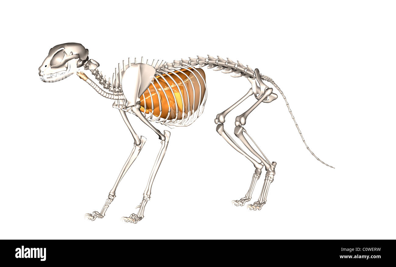 Anatomy Cat Respiratory Lungs Skeleton Stock Photos & Anatomy Cat ...
