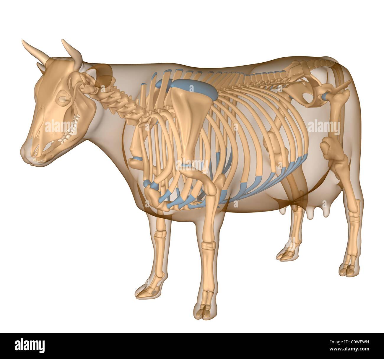 Anatomy of the cow skeleton Stock Photo: 34981233 - Alamy