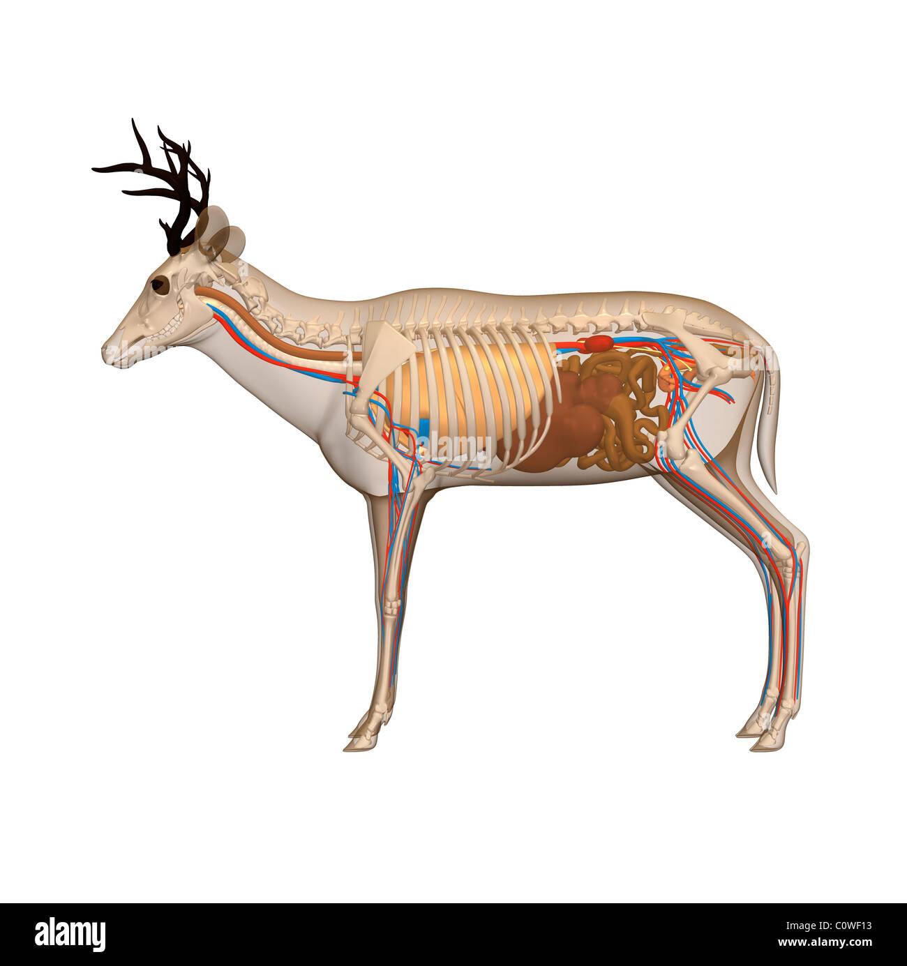deer anatomy Stock Photo: 34981327 - Alamy