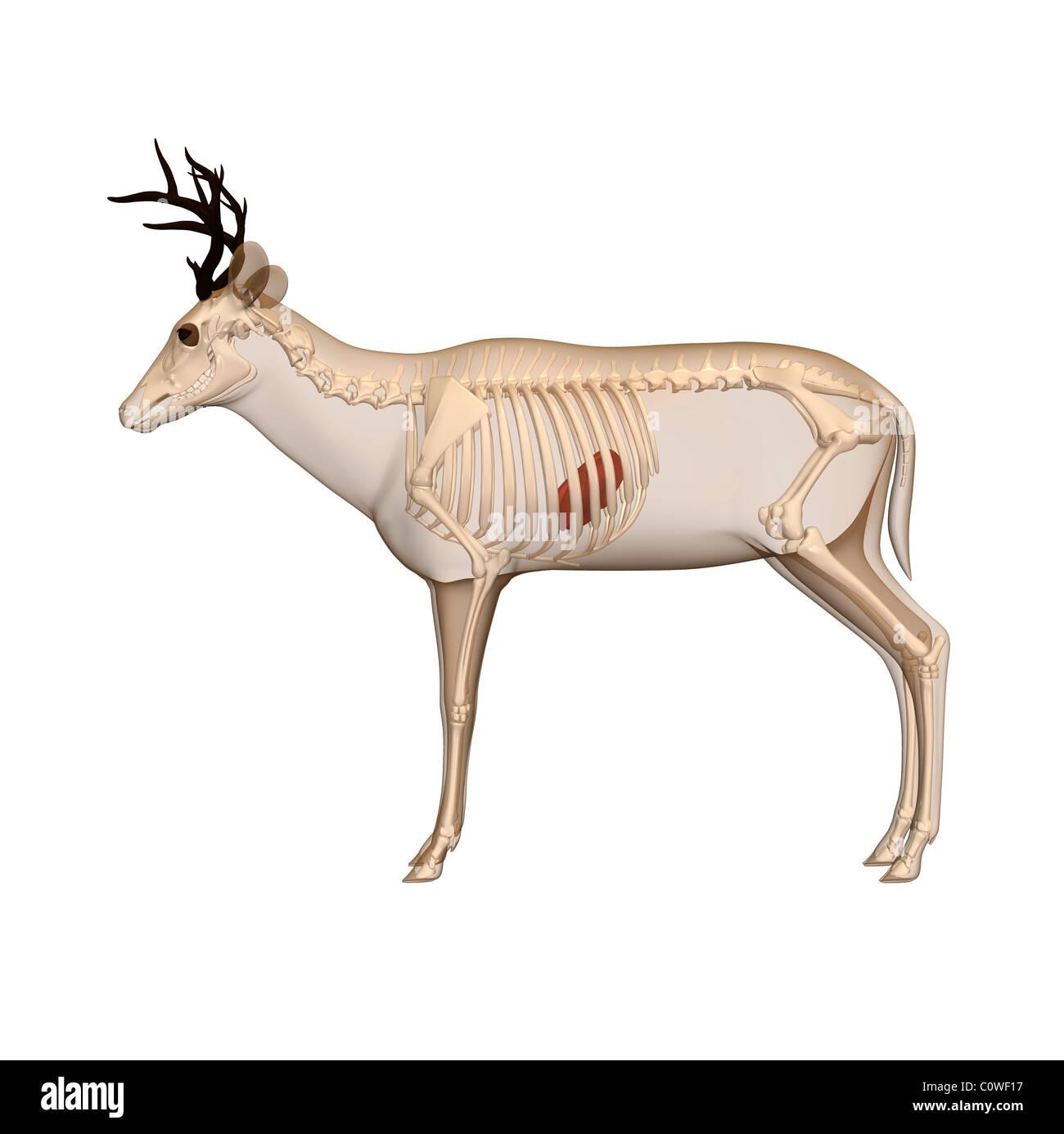 deer anatomy liver skeleton transparent body Stock Photo: 34981331 ...