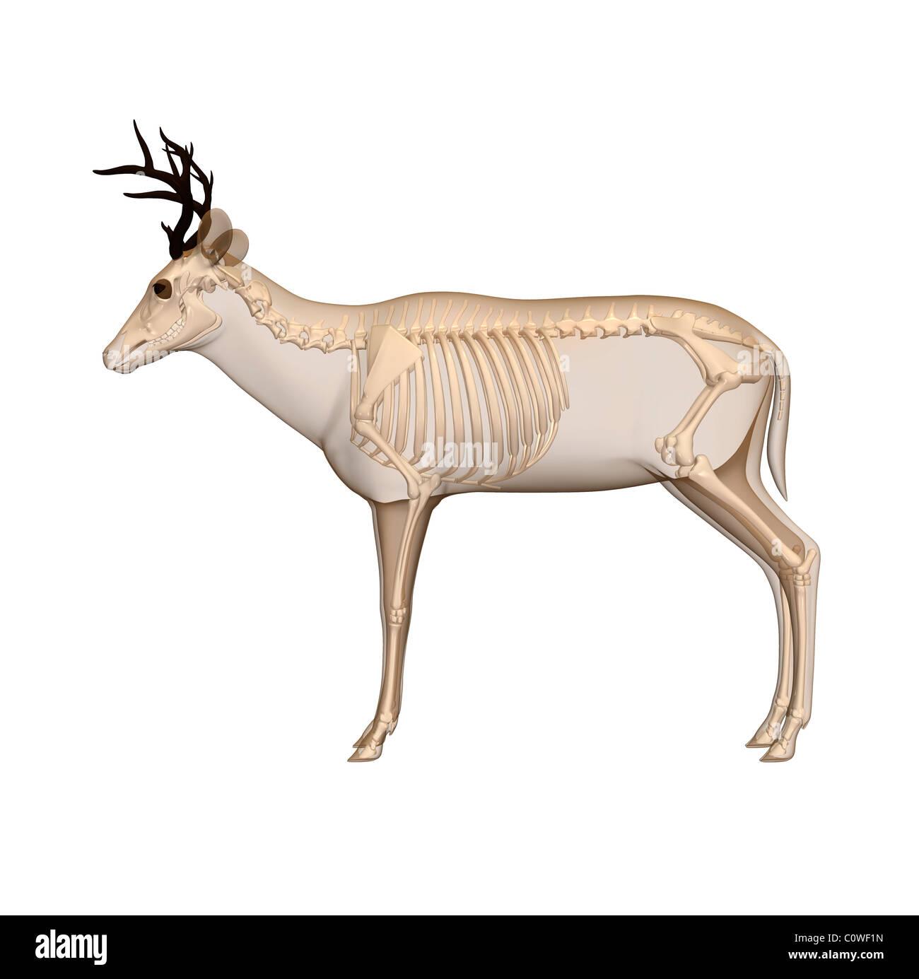 deer anatomy skeleton Stock Photo: 34981345 - Alamy