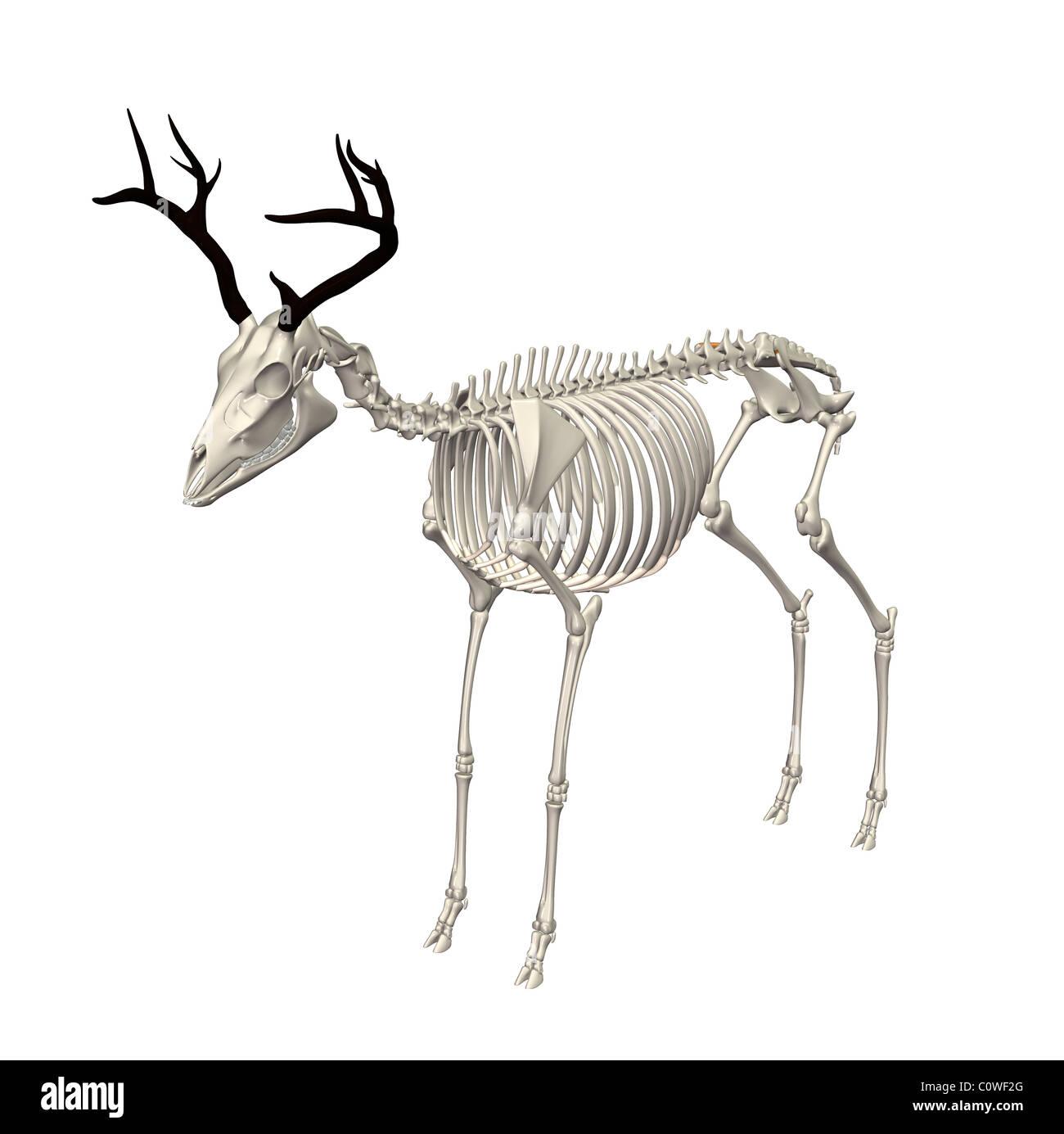 Deer Bones Stock Photos Deer Bones Stock Images Alamy