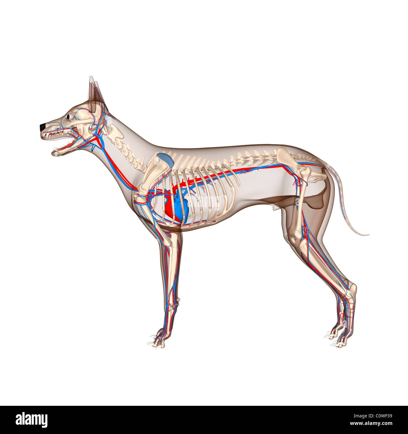 dog anatomy heart circulation skeleton with transparent body Stock ...