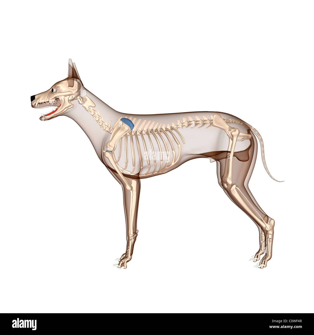 dog anatomy skeleton with transparent body - Stock Image