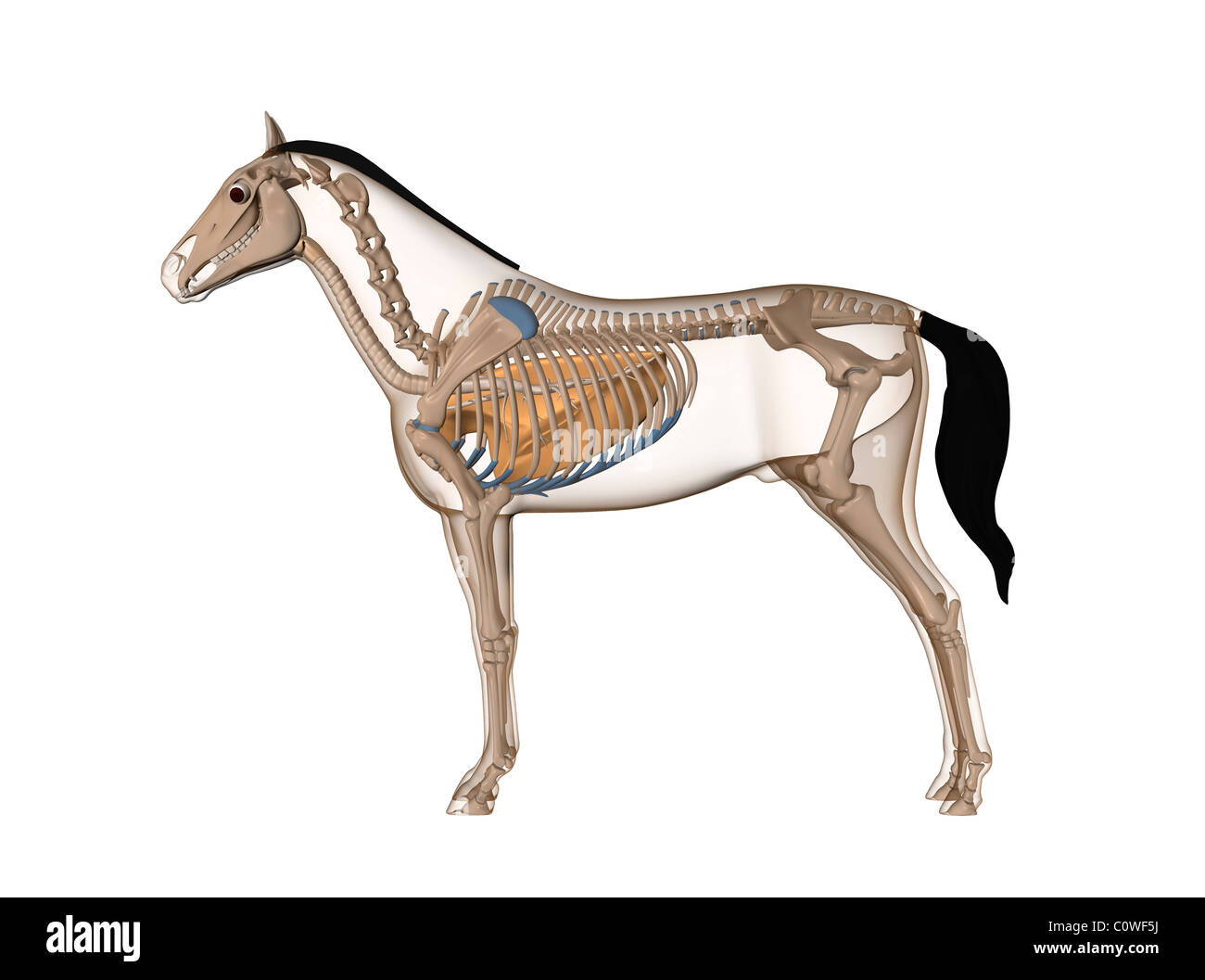 horse anatomy respiratory transparent lungs Stock Photo: 34981454 ...
