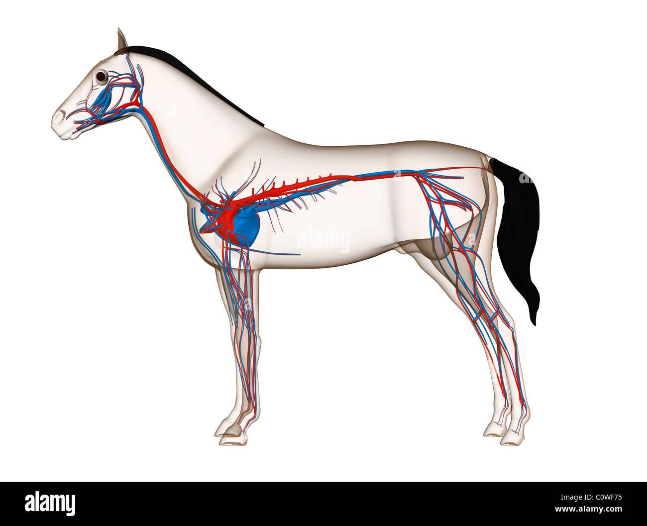 Horse Anatomy Heart Circulation Stock Photo 34981497 Alamy