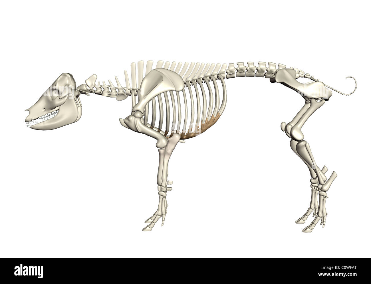 pig anatomy skeleton Stock Photo: 34981600 - Alamy