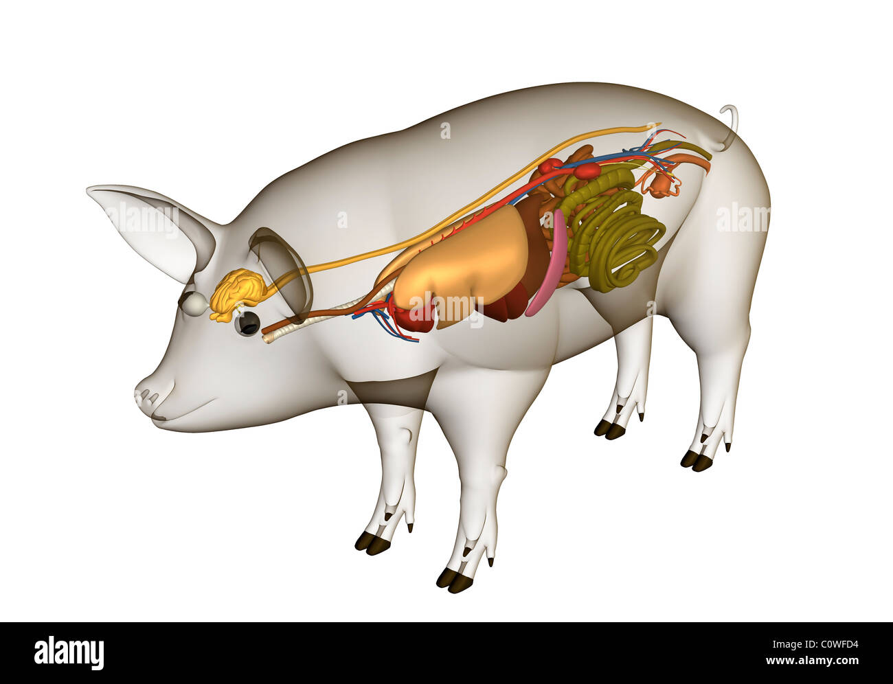 Pig Anatomy Organs With Transparent Body Stock Photo 34981664 Alamy