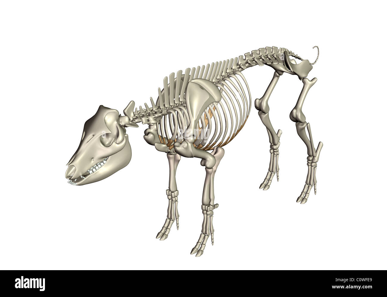 pig anatomy skeleton bones Stock Photo: 34981697 - Alamy