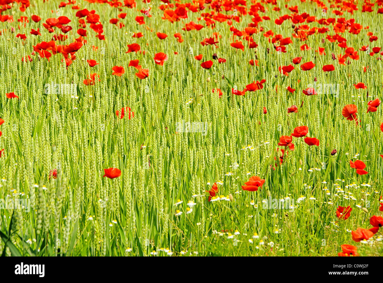 Klatschmohn im Feld - corn poppy in field 06 - Stock Image