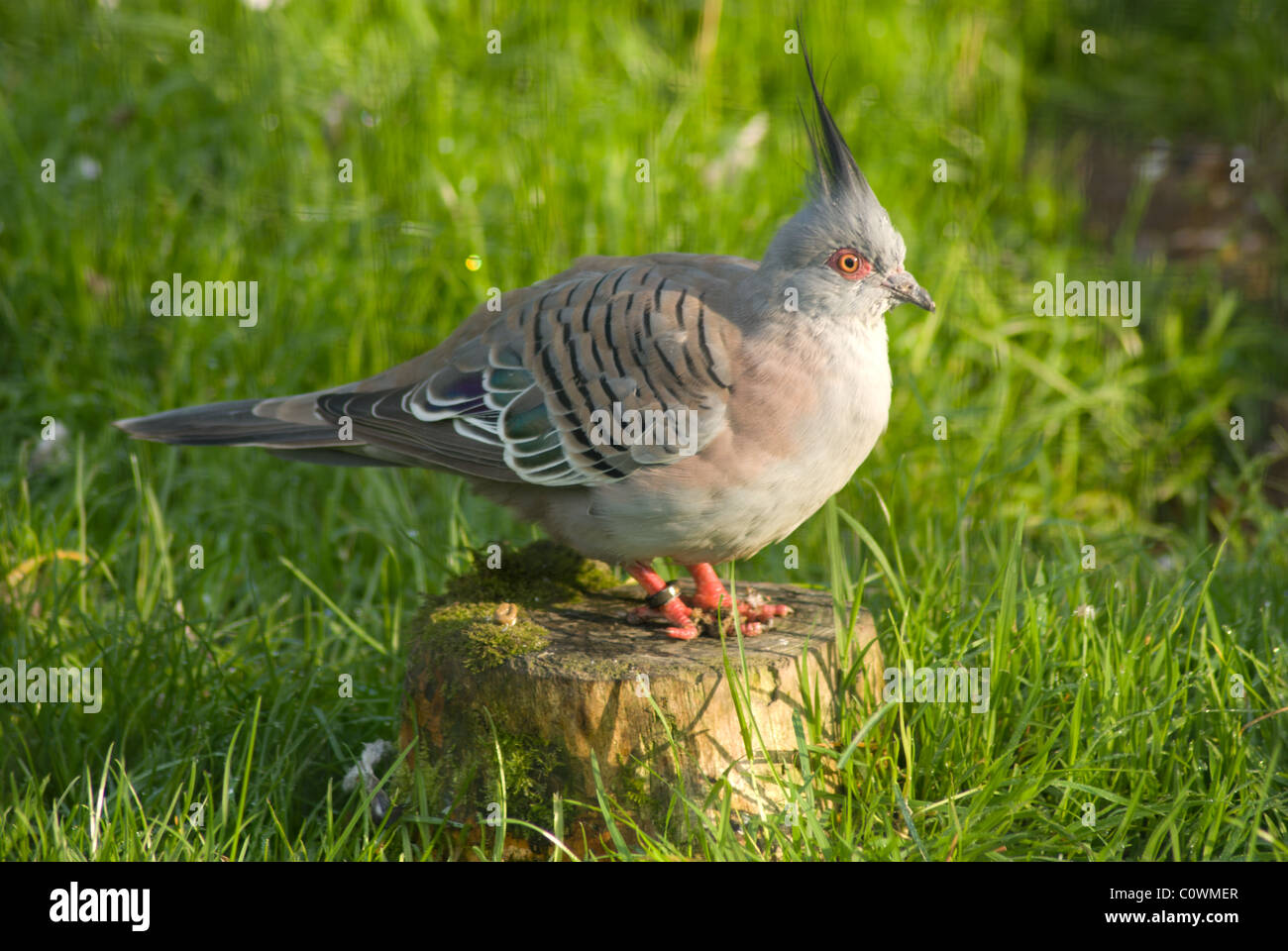 An Australian wood pigeon standing on a tree stump in profile - Stock Image