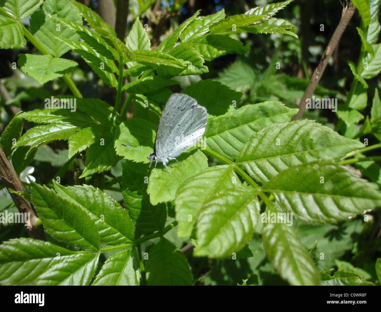 Chalk Hill Blue Butterfly ' Lysandra Coridon' wth wings closed. - Stock Image