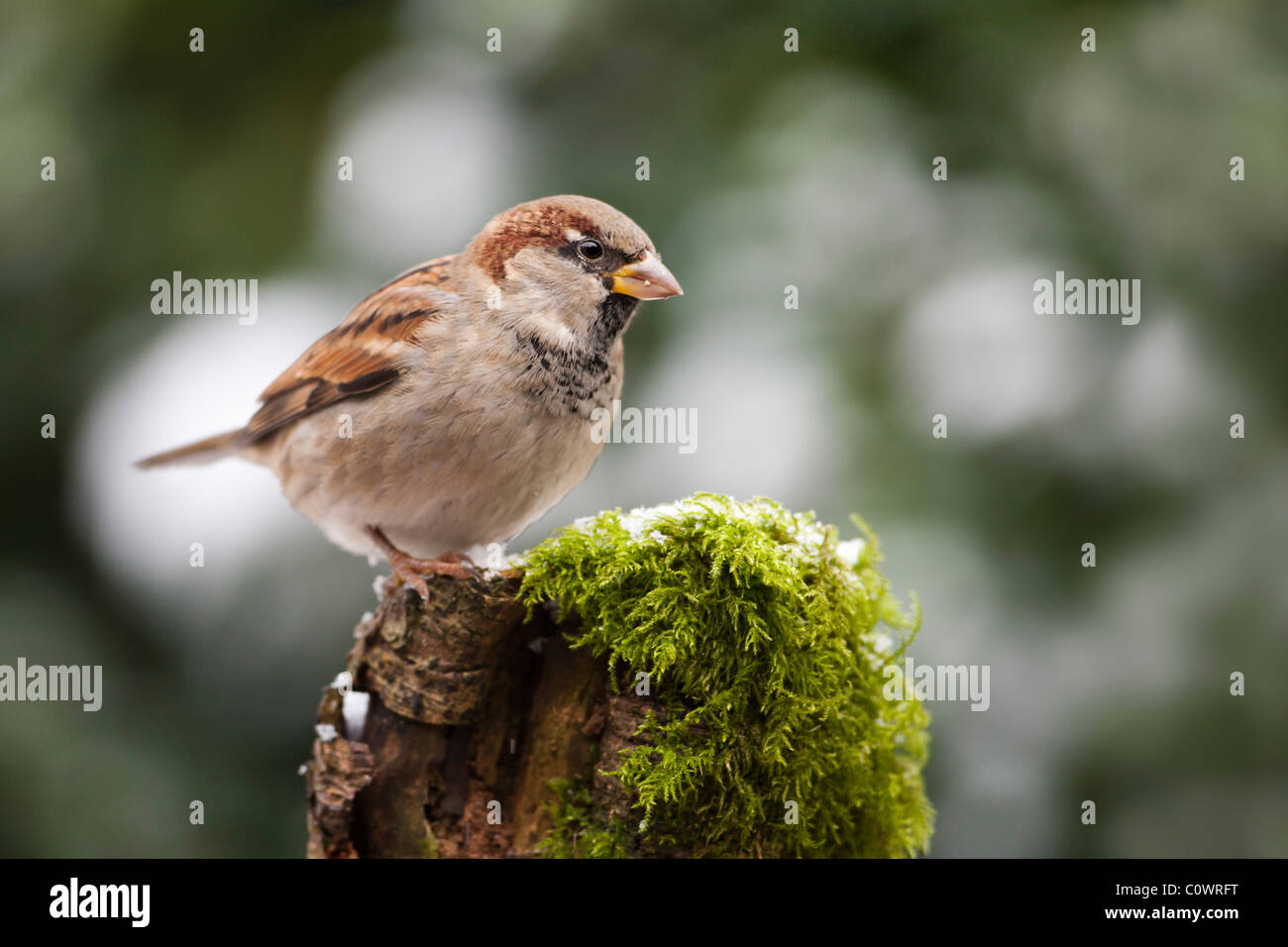 House Sparrow (Passer domesticus) adult male, perched on mossy tree stump, Norfolk, UK. - Stock Image