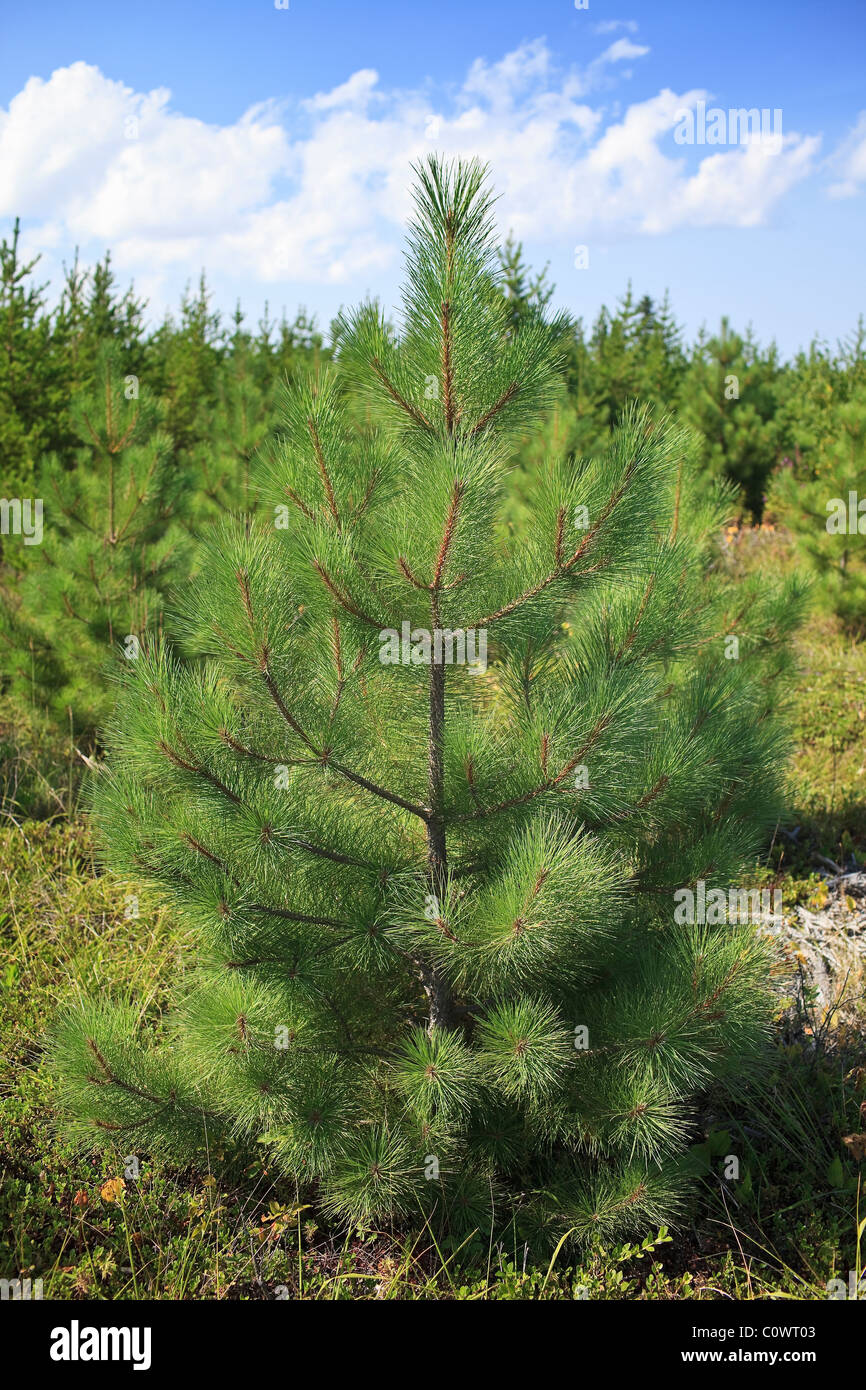 Young Fir trees, Grand Beach Provincial Park, Manitoba, Canada. - Stock Image
