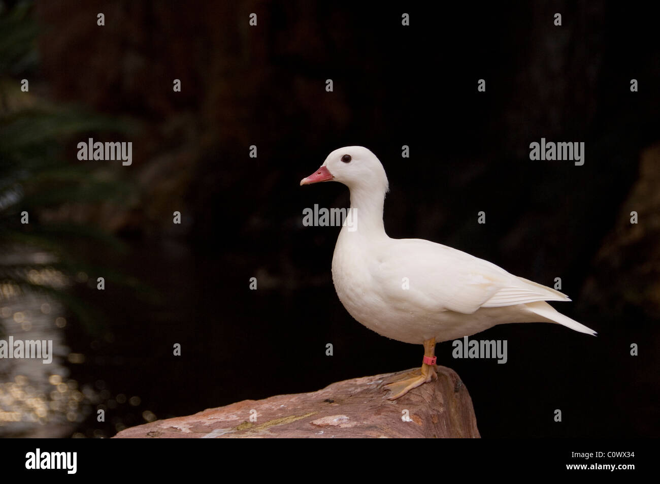 White Duck Standing On Edge of Rock - Stock Image