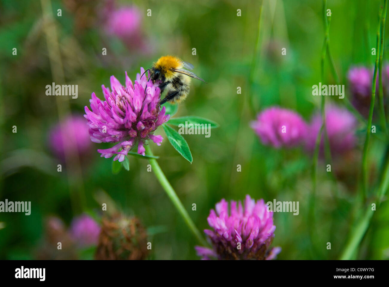 Bumblebee on clover flower - Stock Image