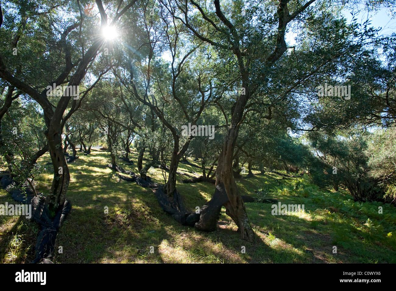 Olive Grove, Corfu, Ionian islands, Greece - Stock Image
