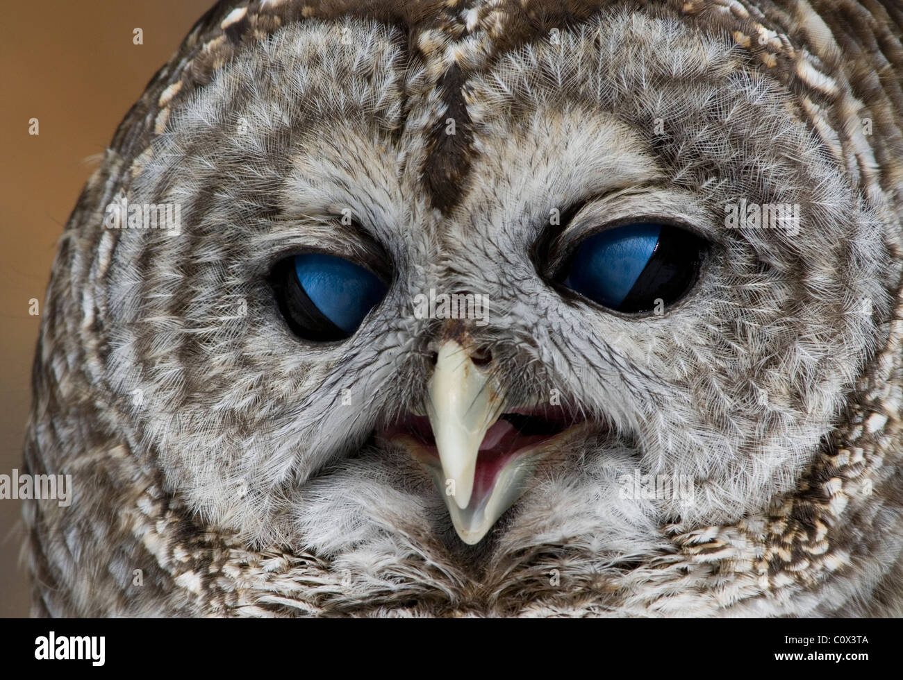 Barred Owl Strix varia showing nictitating membrane over it's eyes Eastern USA - Stock Image