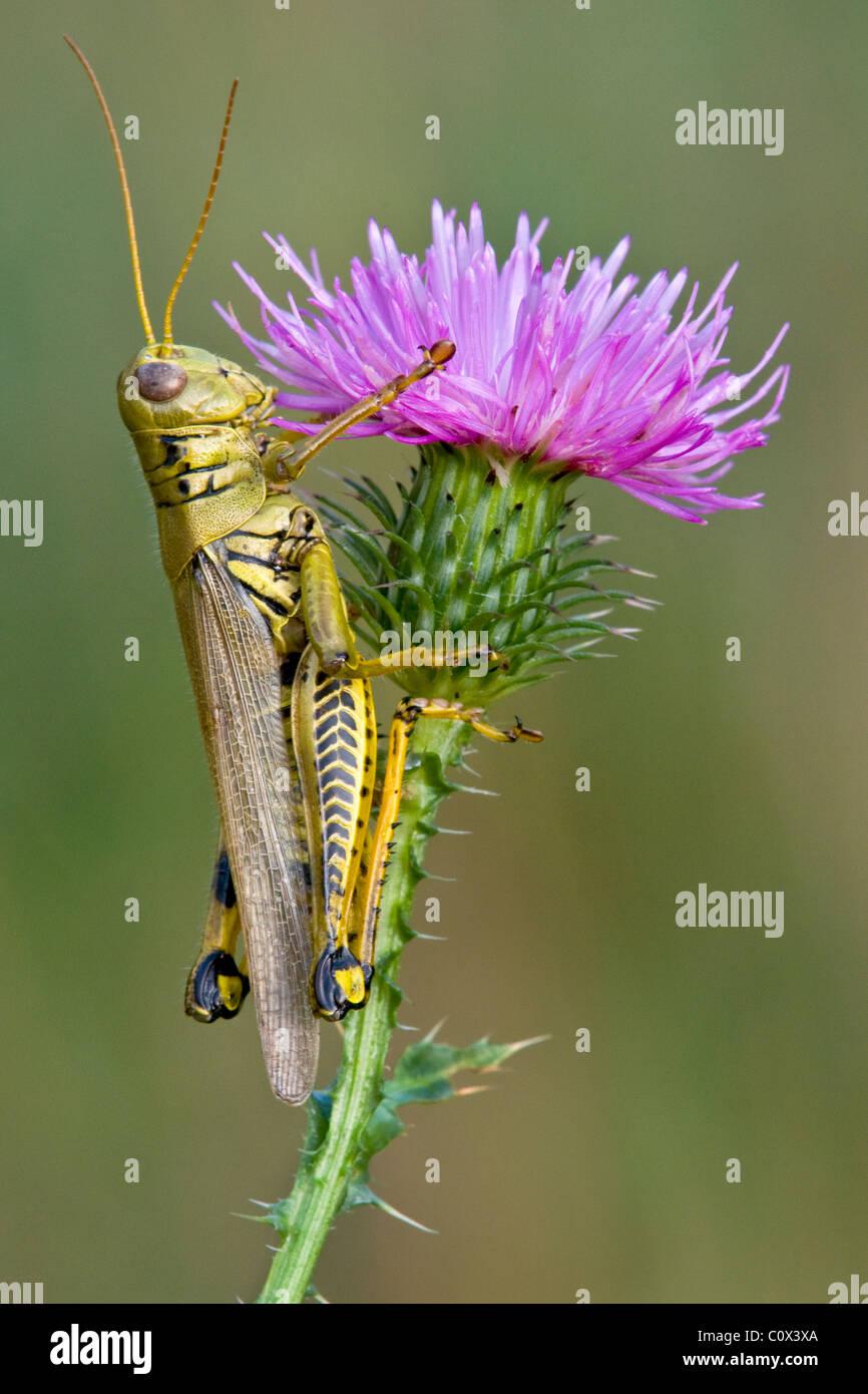 Differential Grasshopper Melanoplus differentialis on Swamp Thistle Cirsium muticum Michigan USA, by Skip Moody/Dembinsky Stock Photo