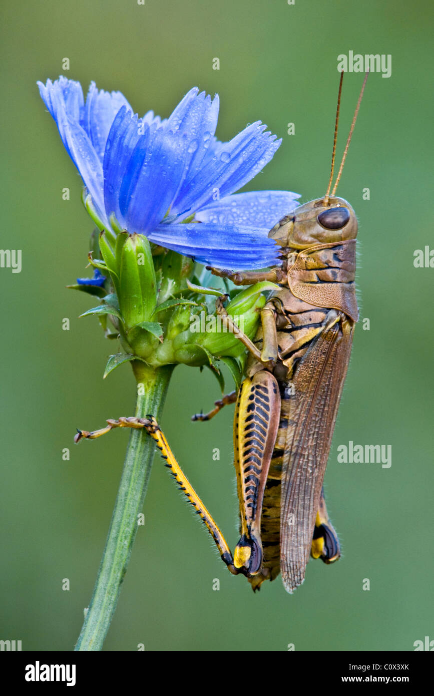 Differential Grasshopper Melanoplus differentialis on Chicory Cichorium intybus Eastern USA, by Skip Moody/Dembinsky Stock Photo