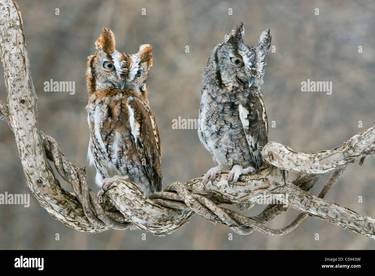 Common Screech Owls Otus asio Rufous and Gray phase Eastern North America - Stock Image