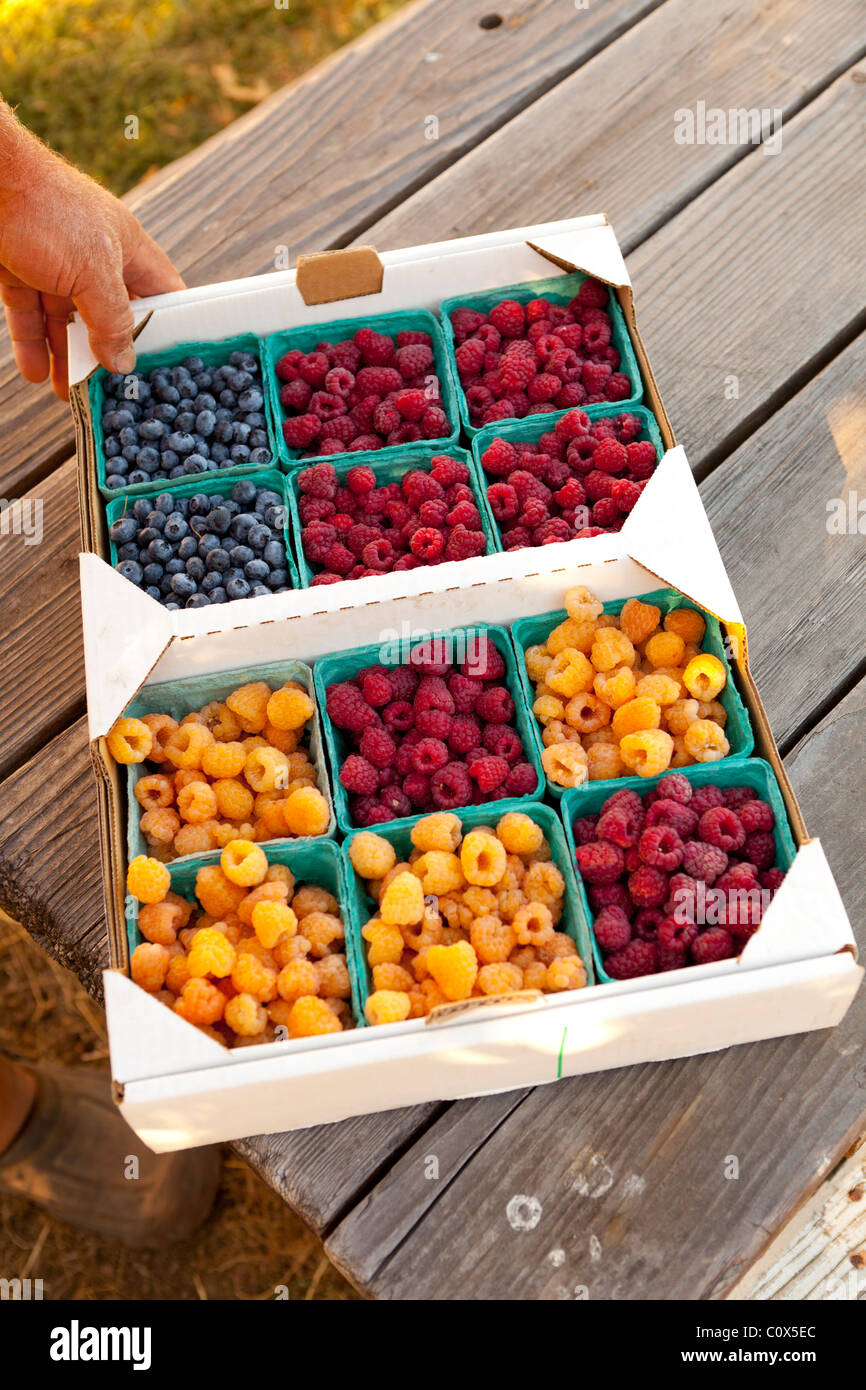 Flat of organic fruit in baskets: blueberries, raspberry  golden raspberries Sitting on wooden picnic table, hand - Stock Image