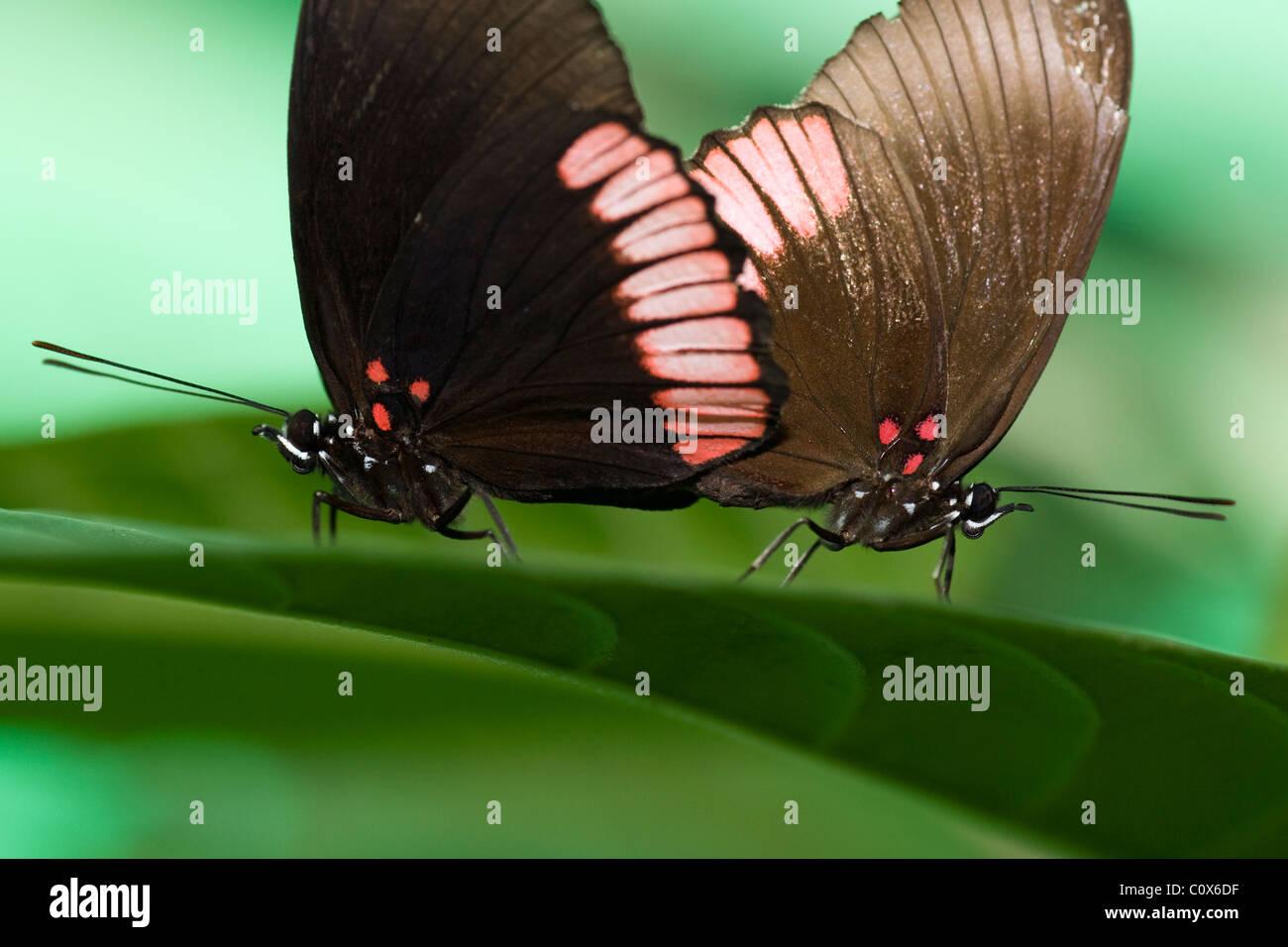 Butterflies Mating (Captive) - La Selva Jungle Lodge, Amazon Region, Ecuador - Stock Image
